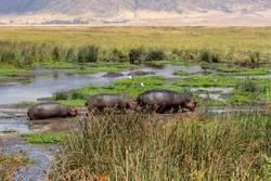 Nilpferdfamilie, die aus das Wasser herauskommt