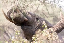 Elefantenkopf, Elefanten Trompete