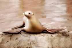 Gemeiner brauner Seehund, der auf einem Felsen sitzt