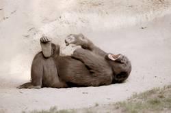 Gorilla auf dem Rücken liegend