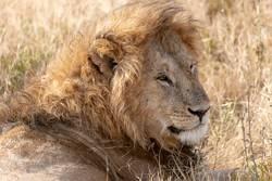 König des Löwen /Safari,Afrika,Tanzania.