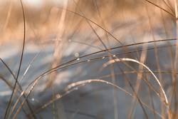 Dünengras mit Wassertropfen