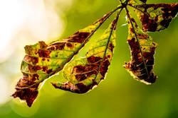 verwelktes Kastanienblatt im Gegenlicht