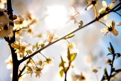 Mirabellenblüte im Gegenlicht