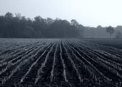 Stoppeln auf einem Maisfeld im Moor