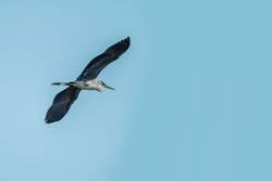 Gleitflug eines Graureihers