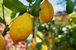Zitrone frisch