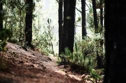 Teneriffa Corona Forestal II