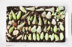 Leaves of succulent plants with growing roots.