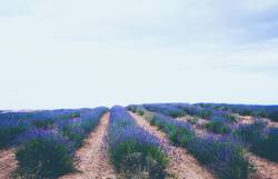 Beautiful lavender fields in bloom