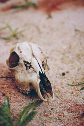 Animal skull in a desertical environment