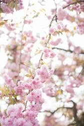Blühende japanische Kirsche!