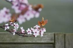 Frühlingsbote II