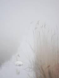 Nebelschwan