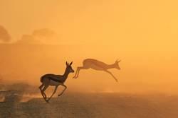 Springbok Silhouette - African Wildlife Wonders