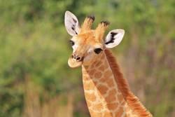 Giraffe Calf - Baby Animals in Nature