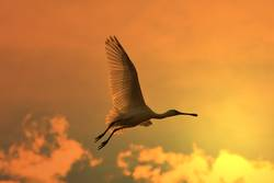 Spoonbill Stork - Golden Flight
