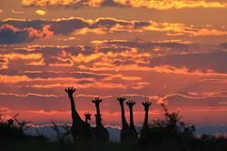 Giraffe - Magical Skies of Africa