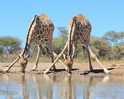Giraffe - Splitting for Sips