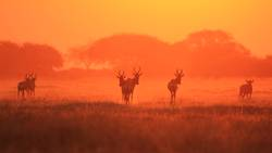 Hartebeest - Silhouette of a Red Sunset