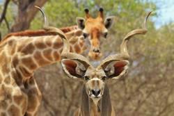 Kudu Bull and Giraffe - Photobombing Nature
