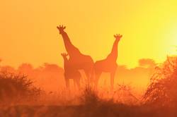 Giraffe Silhouette - Family of Freedom