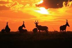 Red Hartebeest - Colors in Nature