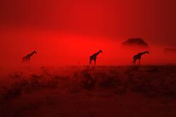 Giraffe Silhouette - Wondering through Red