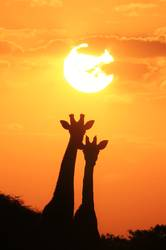 Giraffe Silhouette - Under a Magical Sun