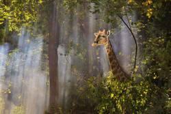 Giraffe - Walk through Fog