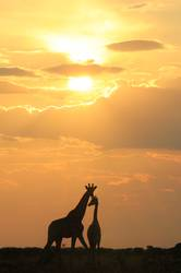 Giraffe Love - Wildlife Wonders from Africa