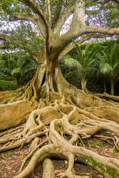 Roots, stem and branches of a mighty Moreton Bay fig.