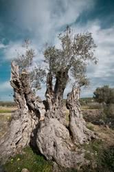 Olivengreis