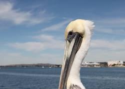 San Diego Pelican