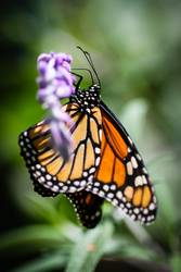 Monarch Danaus Plexippus