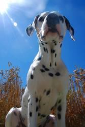 Ein Hund im Kornfeld