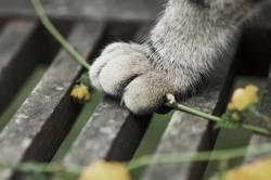Katzenfuß