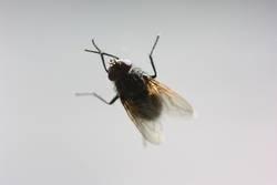 du kleine Fliege