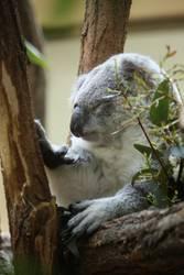 Koala müde