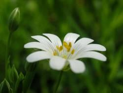 Weißes Waldsternchen