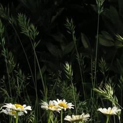 Gräser auf Margeriten an Kirschlorbeer