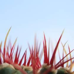 Stechus Kaktus