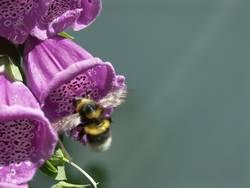Anflug Biene zur Blüte