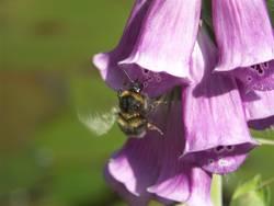 Bienen-Blütenjagd