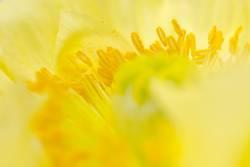 Gelbe Mohnblüte II