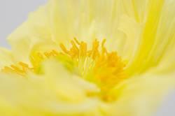 Gelbe Mohnblüte
