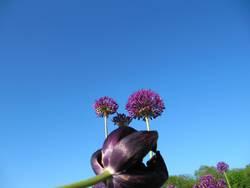 lila Büten im blauen Himmel