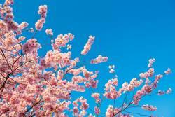 rosa Kirschblüten vor blauem Himmel