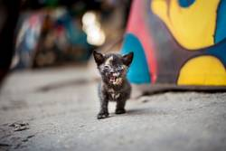 kleine Katze brüllt in die Kamera