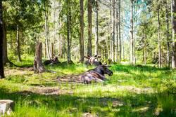 faule Elche liegen im Gras und lassen sich begaffen